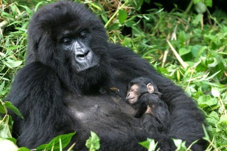 10_berggorillababy_800 by uganda safari co