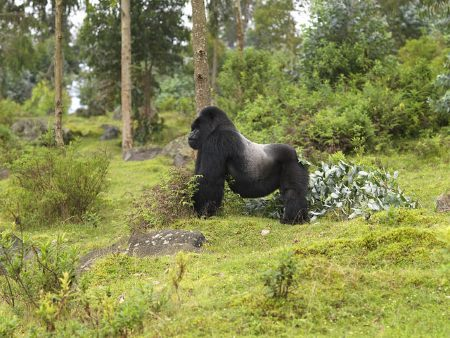 gorilla PNV