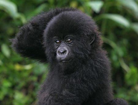 uganda-gorilla-safaris-1363022680 by uganda safari co